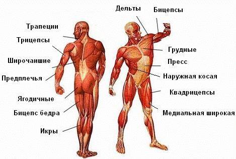Рис. Анатомия мышц человека